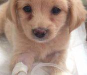 Triệu chứng bệnh Parvo ở chó | Triệu chứng dạng đường ruột