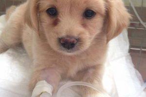 Triệu chứng bệnh Parvo ở chó   Triệu chứng dạng đường ruột