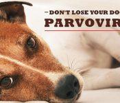 Nhiễm bệnh Parvo ở chó | Những triệu chứng thường gặp nhất