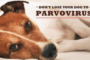 Nhiễm bệnh Parvo ở chó   Những triệu chứng thường gặp nhất