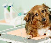 Nguyên nhân gây bệnh Parvo ở chó và cách chăm sóc