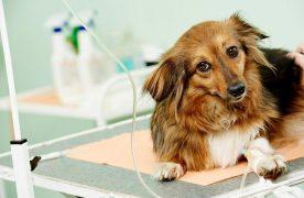 Cách chữa trị bệnh Parvo  cho chó thường bổ sung nước và các chất điện giải đã mất do quá trình tiêu chảy.