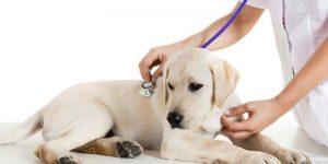 thức ăn cho chó sau bệnh Parvo