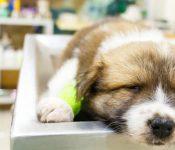 Sau điều trị bệnh Parvo ở chó | Lưu ý chế độ ăn hiệu quả