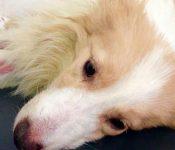 Độ tuổi bị bệnh Parvo ở chó | Tìm hiểu cơ chế sinh bệnh Parvo