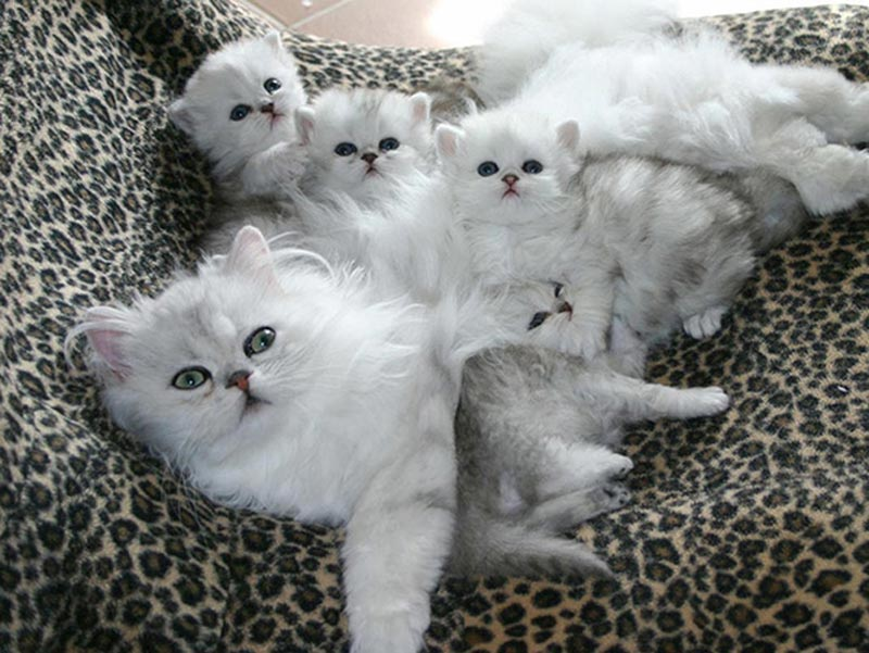 chăm sóc mèo sau sinh