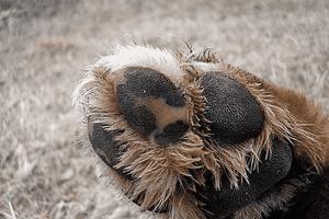 Nấm Men Malassezia Ở Chó | Nguyên Nhân Gây Bệnh Này